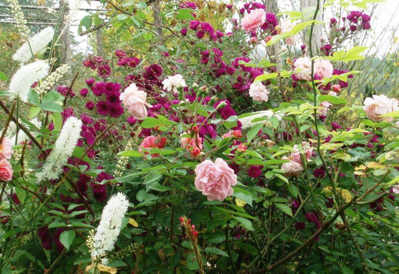 jardinage comment planter les rosiers en lorraine ble lorraine. Black Bedroom Furniture Sets. Home Design Ideas