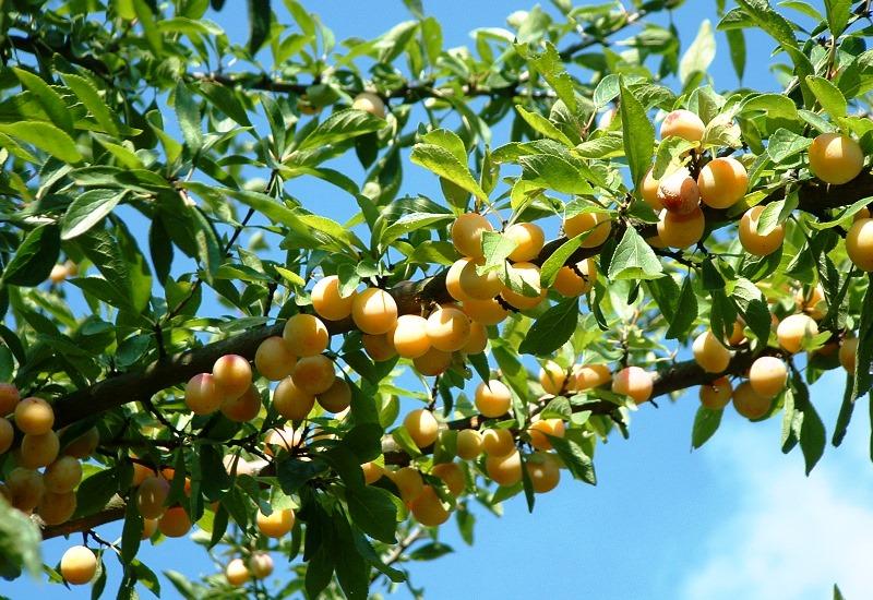 Vegafruits reprend Clair de Lorraine
