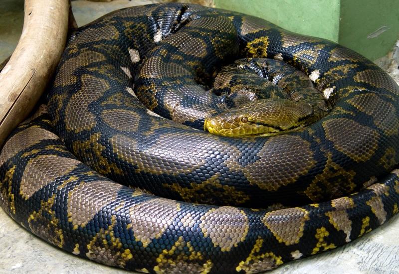 Deux pythons réticulés de sept mètres au Zoo d'Amnéville