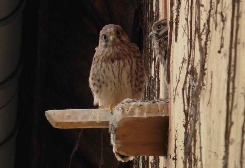 A la découverte d'une famille de faucons crécerelles à Théding
