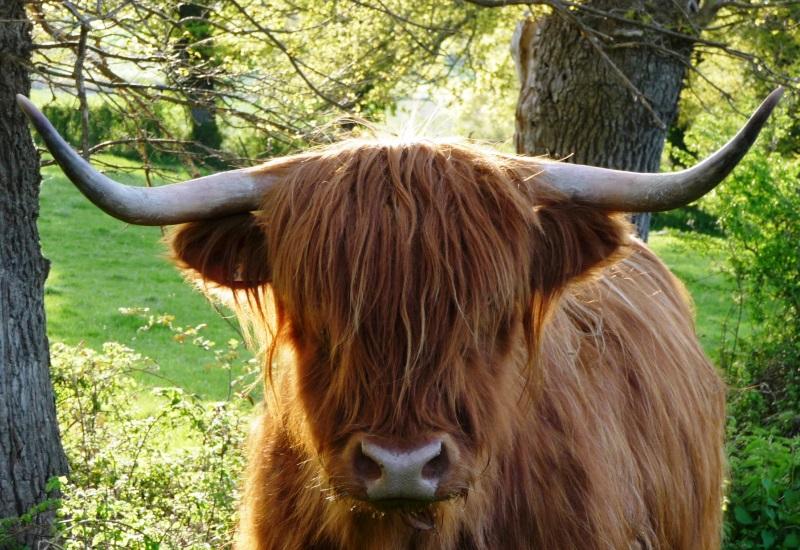 Des vaches des Highlands débarquent à Metz !